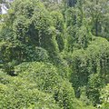 How to Kill Kudzu