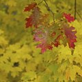 What Is the Difference Between Maple & Oak Trees?