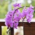How to Propagate Phalaenopsis Orchids