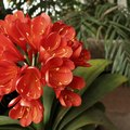 How to Care for the Clivia Plant