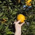 When Should I Pick Oranges Off the Tree?