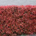 How to Prune Red Tip Photinia