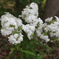 How to Prune Phlox