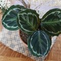 How to Care for a Calathea Plant