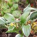How to Transplant Hostas