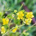 How to Kill Buttercup Weeds