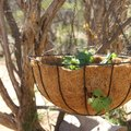 How to Grow Strawberries in a Hanging Basket