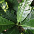 How to Help a Rubber Tree Plant That Is Losing Leaves