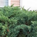 How to Trim Juniper Shrubs
