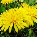 How to Kill Dandelions With Vinegar