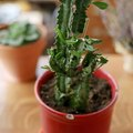 How to Care for a Euphorbia Trigona