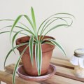 My Spider Plant Has Brown Ends