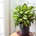 How to Care for Dieffenbachia