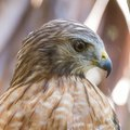 How to Get Rid of Hawks