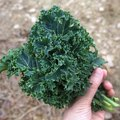 How to Naturally Kill Bugs on Kale