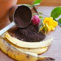 How to Make Roses Bloom with Banana and Coffee Grounds