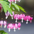 How to Grow Bleeding Heart (Dicentra)