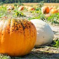How Long Does it Take to Grow Pumpkins From Seeds?