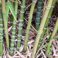 How to Transplant Bamboo Cuttings