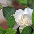 Are Gardenias Poisonous to Pets?