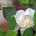 Are Gardenias Poisonous to Pets?