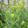 How to Kill Yellow Mustard Weed