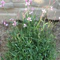 How to Care for a Gaura Plant