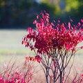 When to Prune a Burning Bush Shrub