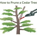 How to Prune a Cedar Tree