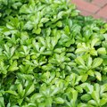 How to Transplant Pachysandra