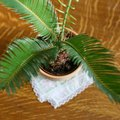 How to Care for a Sago Palm