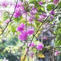 How to Encourage Bougainvillea to Bloom