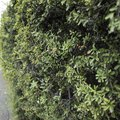 How to Grow a Cotoneaster Hedge