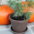 How to Take Care of Mini Pine Trees