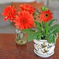 How to Care for a Gerbera Daisy Plant