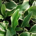 How to Prevent Bugs From Eating Hosta Plants