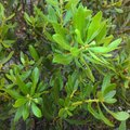 What Is a Bayberry Shrub?
