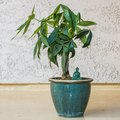 Care Instructions for a Money Tree Plant