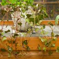 How to Care for Indoor Ivy
