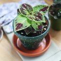 How to Care for Coleus as a Houseplant