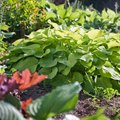 How to Prepare Hostas for Winter