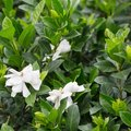 How to Care for a Gardenia Plant