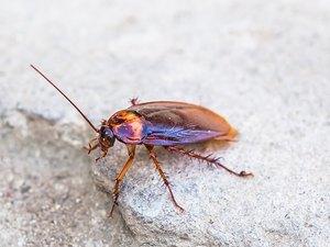 Cockroach, winged adult