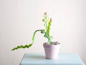 Fishbone plant
