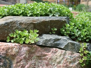 Stone wall with Dragon's Blood planted in it.