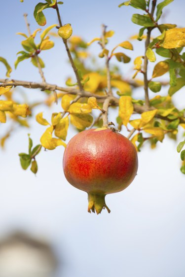 Fruit on Tree Branch