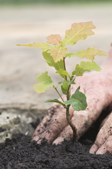 Planting A Tiny Oak Sapling