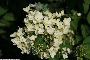 Paniculata compacta
