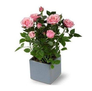 Miniature roses in blue planter