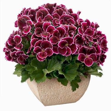 Pelargonium/Geranium plant in pot